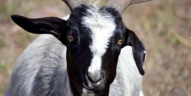 goat-of-duty-enfrenta-hasta-a-10-cabras-en-este-multijugador-frikigamers.com