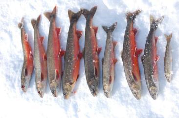 Fin røyefangst - isfiske