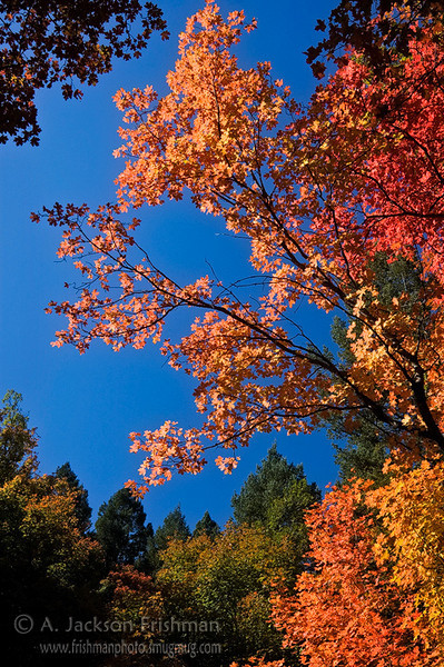 Autumn maples in New Mexico's Manzano Mountains Wilderness