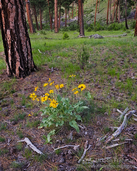 Arrowleaf Balsamroot and ponderosas on river terrace near Middle Fork of the Salmon