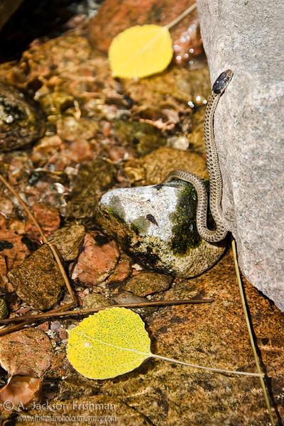 A young snake enjoys the fall aspens in Big Tesuque Creek, Sangre de Cristo Range, New Mexico