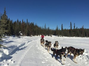 Contact Frisky Pups Dog Sled Rides