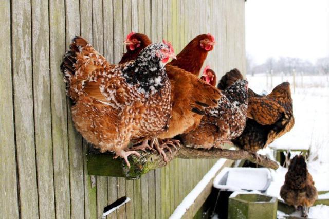 fritgående høns, fritgaende hoens, hoens-i-haven, frugtlund, dyreliv