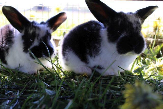 kaniner, kaninunger, nuttet