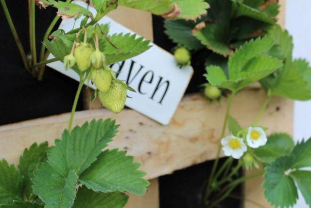 vertikalt-jordbaerbed, jordbaer, i-haven, jordbaerblomst