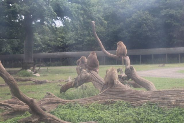 aber, knuthenborg-safaripark