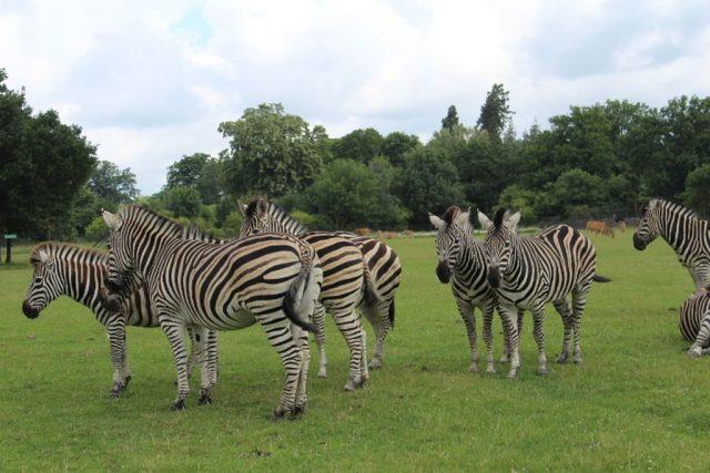 zebra, knuthenborg-safaripark