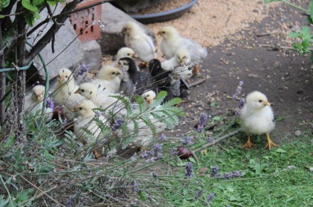 kyllinger, fritgaeende-hoens