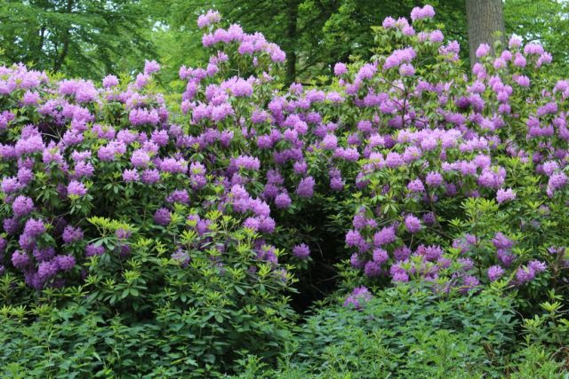 - De smukkeste rododendron - i fuldt flor i hele parken -