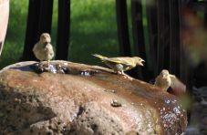 Greenfinches take a bath