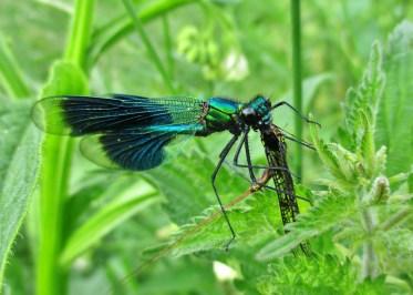 Male banded damselfly eating mayflies