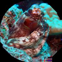 グロット蛸