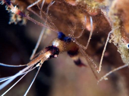 Banded Coral Shrimp(オトヒメエビ)
