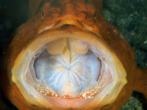 yawn of frogfish