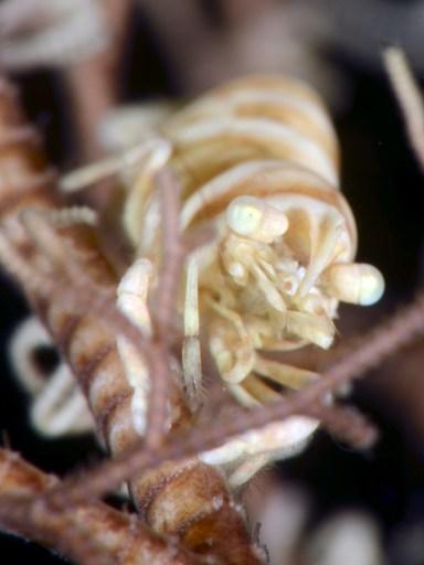 テヅルモヅルカクレエビ