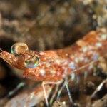 Night Shrimp