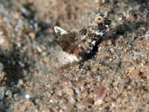 Rayed Shrimpgoby