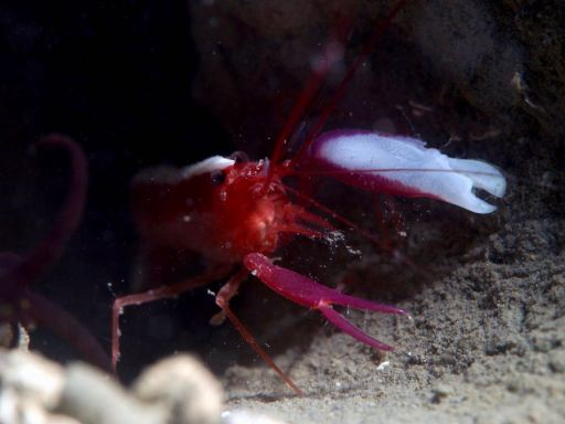 Snapping shrimp in Liloan sea