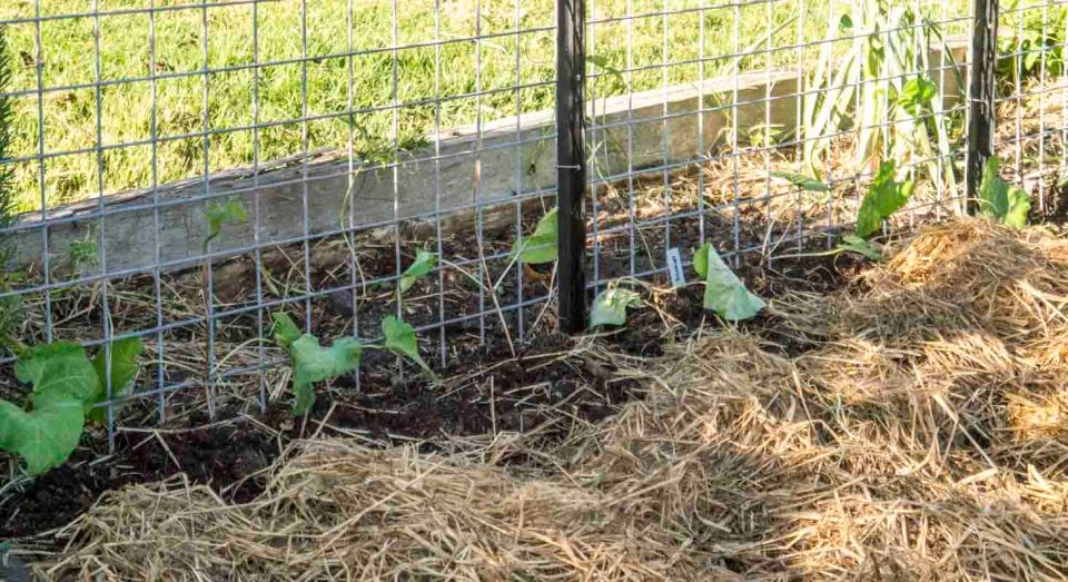 Those beans in the ground at last ..