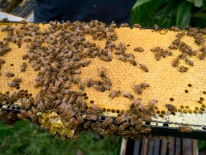 Bees2_100113-1010648
