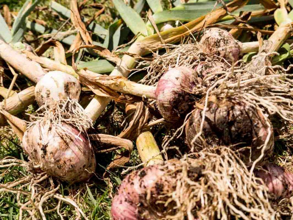 Garlic ...gorgeous heirloom