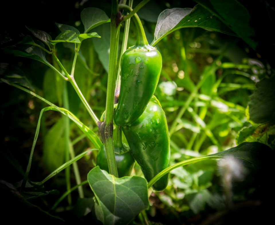 Loving those chillies ... growing famously