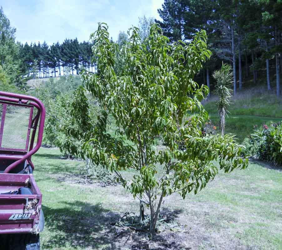 Peach tree after a mini haircut