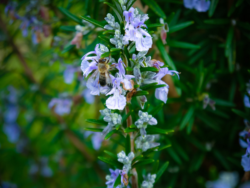 Bees love purple ... the garden was buzzing yesterday.