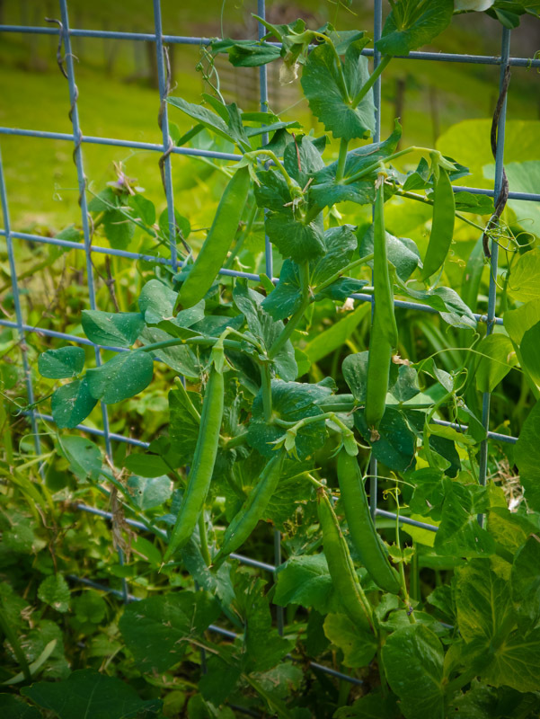 At last, those peas are starting to look good.