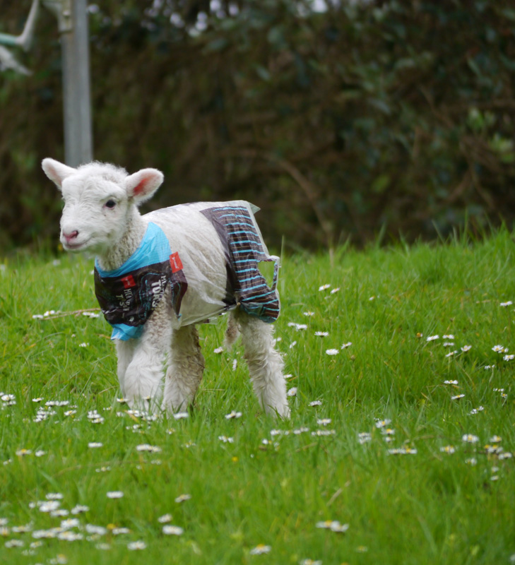 Spring lamb sporting a raincoat