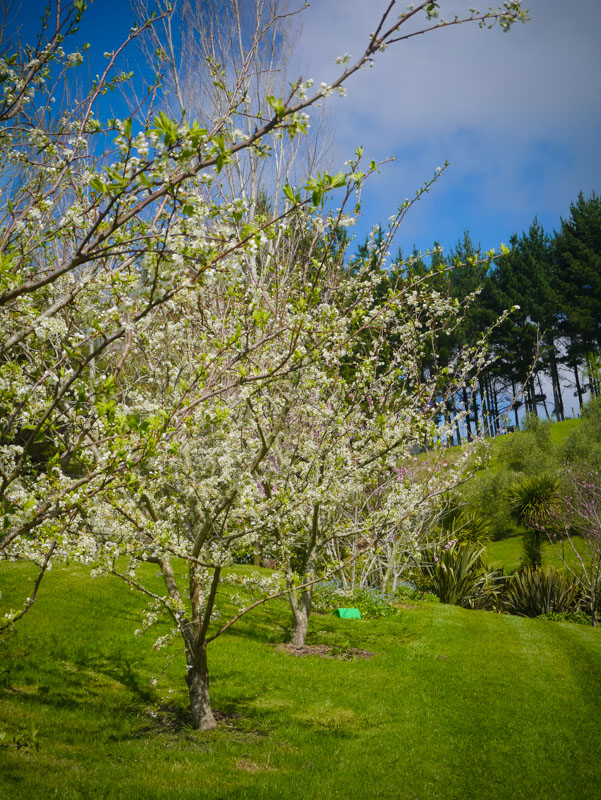 Loving those Luisa plum trees - see the codling moth trap on the ground!