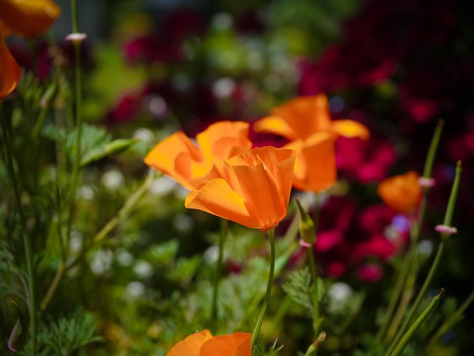Poppy magic - so delicate and pretty