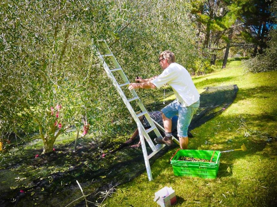 olive ladder-1060716