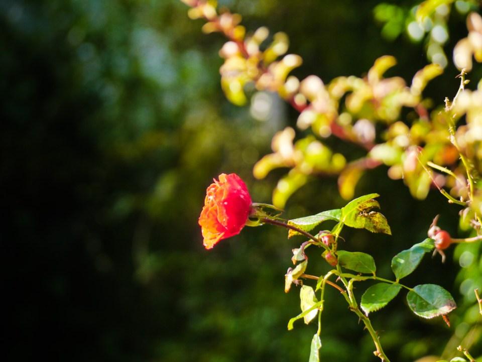 rose solitare-1060760