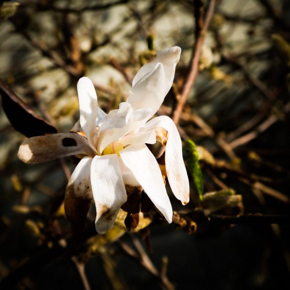 flowering-magnolia