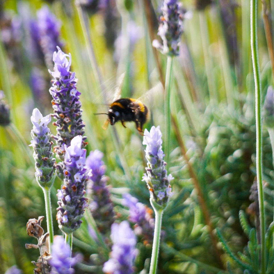 bumble-bee-in-lavender