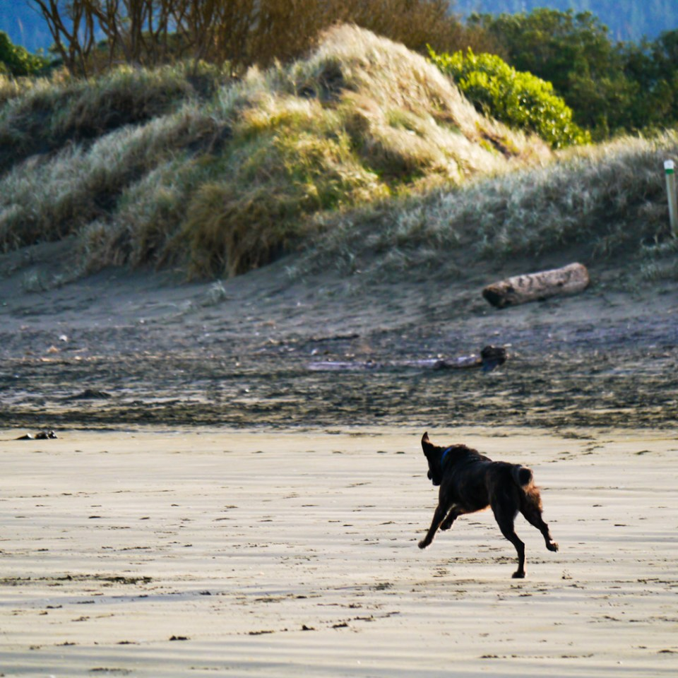 dog-playing-at-Muriwai-beach