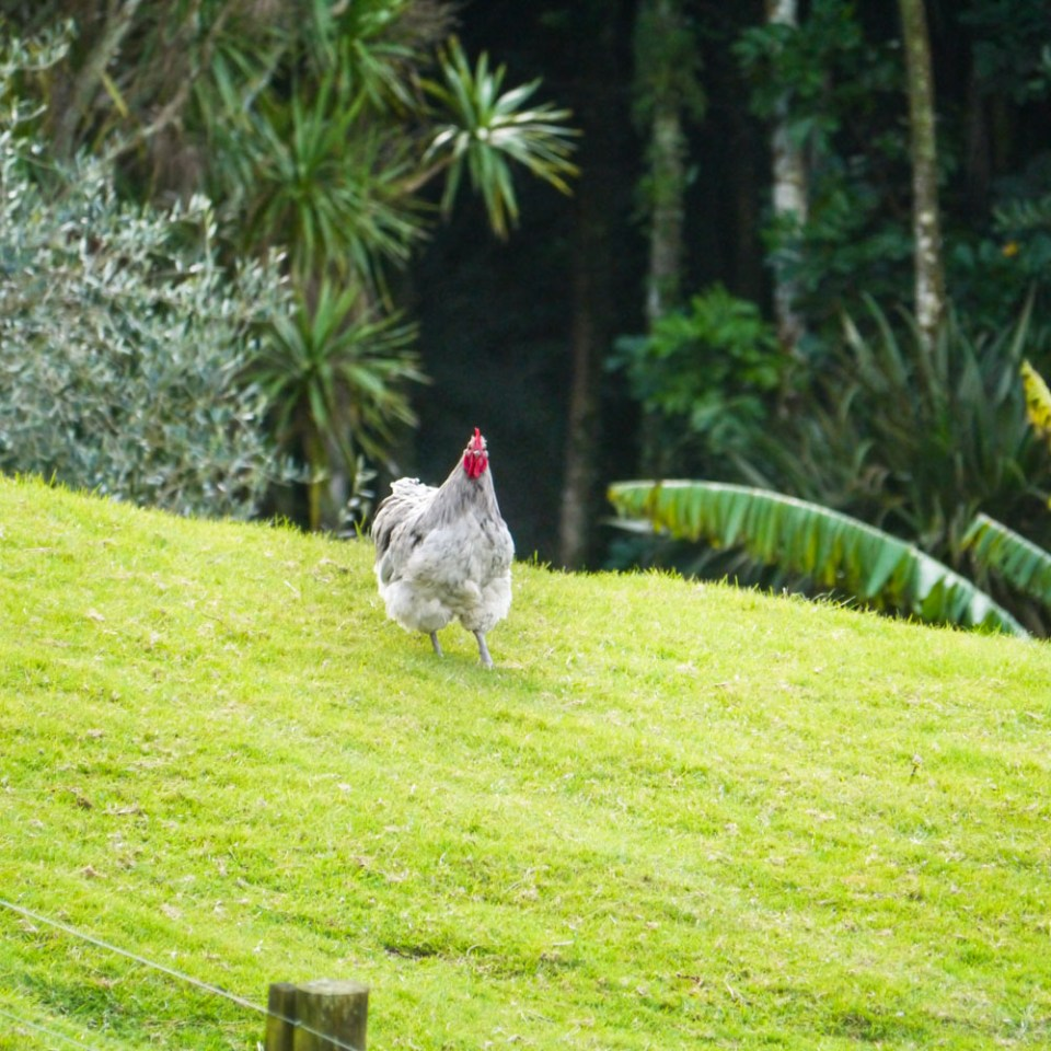 opington rooster
