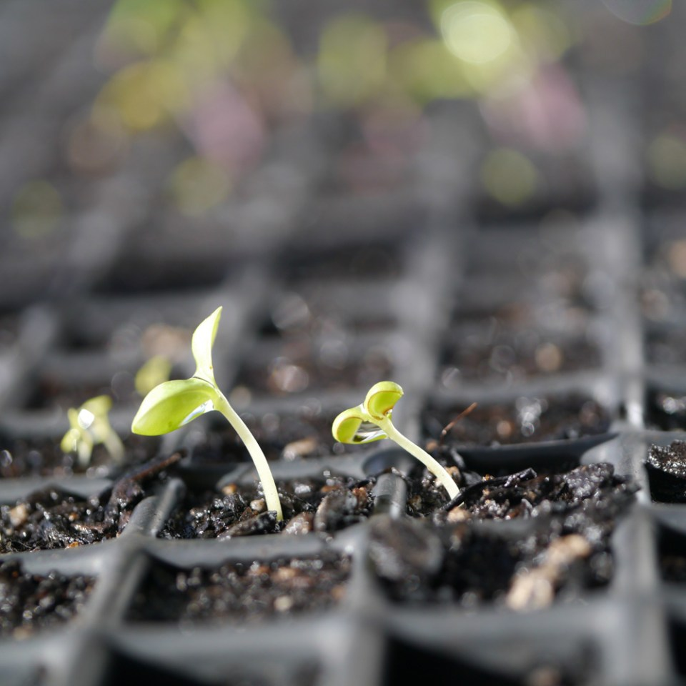 seedlings-zinnia-1070824