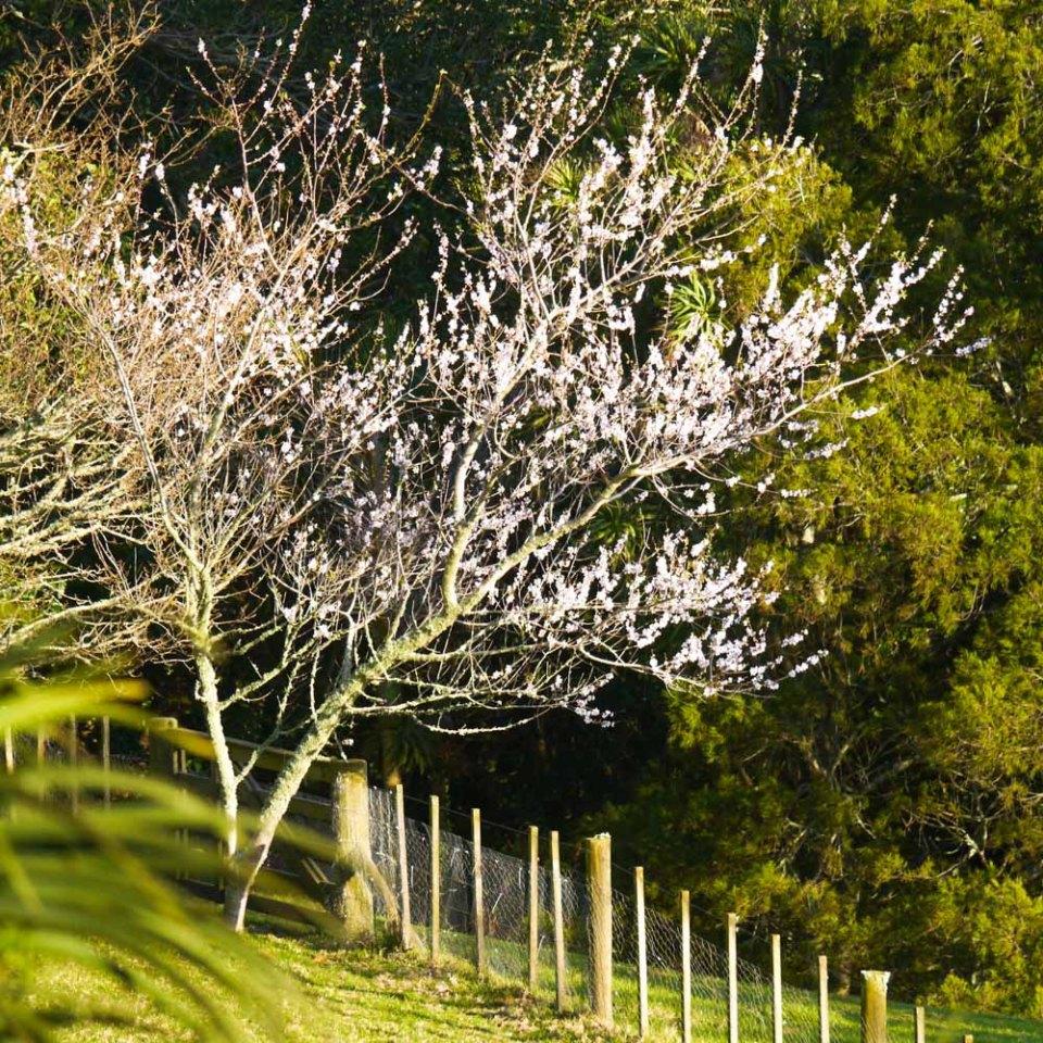 almond-blossom-1080320