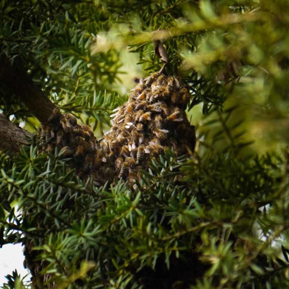bees-swarming-1080636