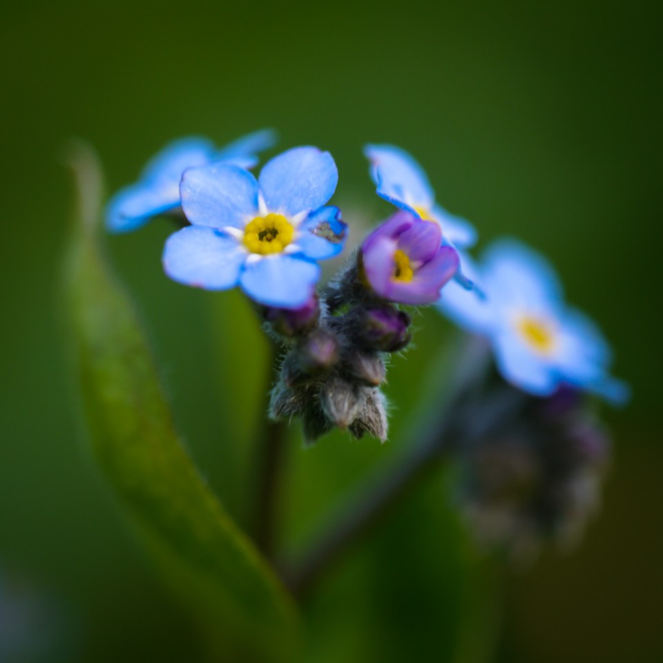 forget-me-not-1070850