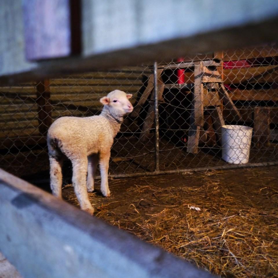 meg-polwarth-lamb-1080371