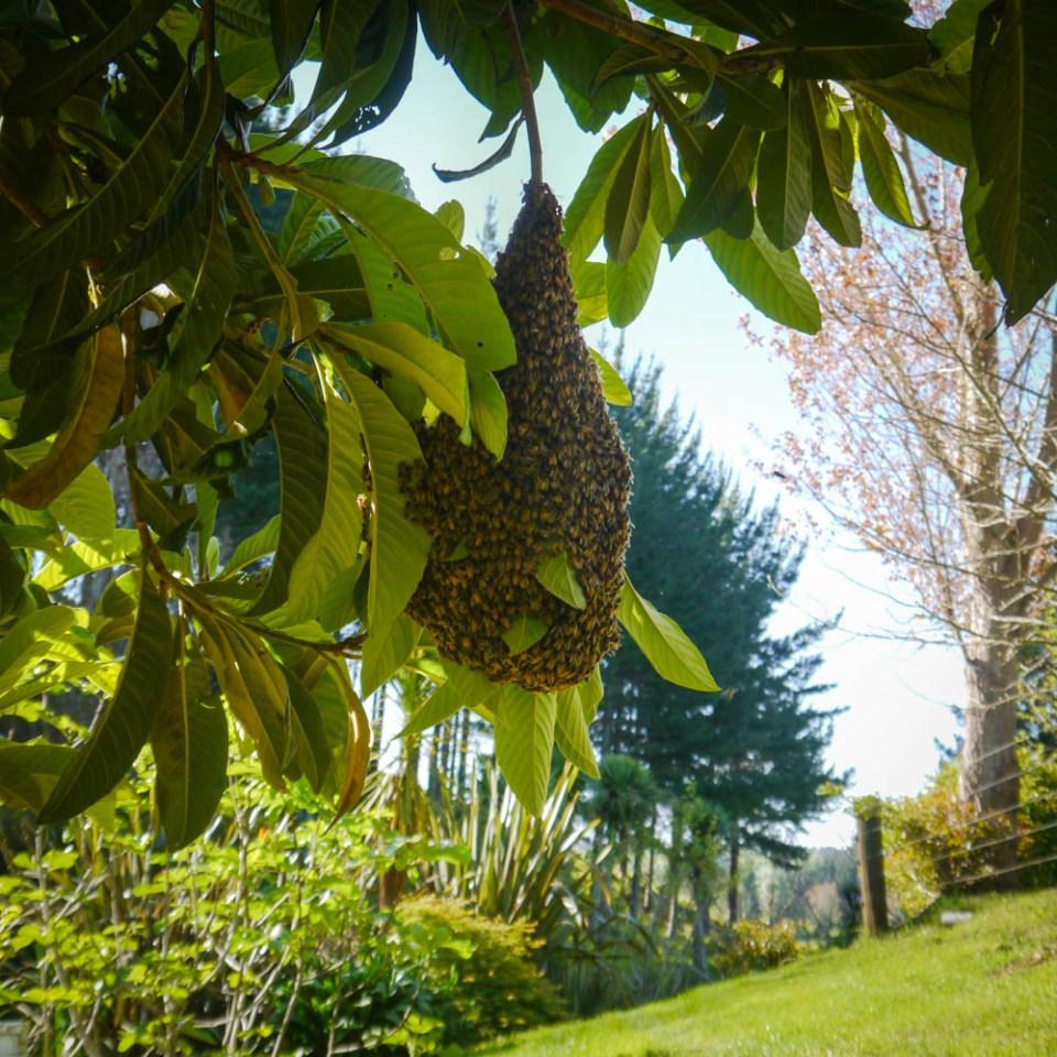 bees loquat-1080922