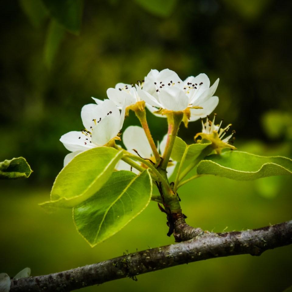 pear-blossom-1090117