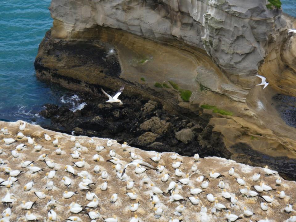gannet rock-1100340