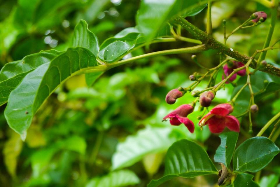 puriri tree-1090833