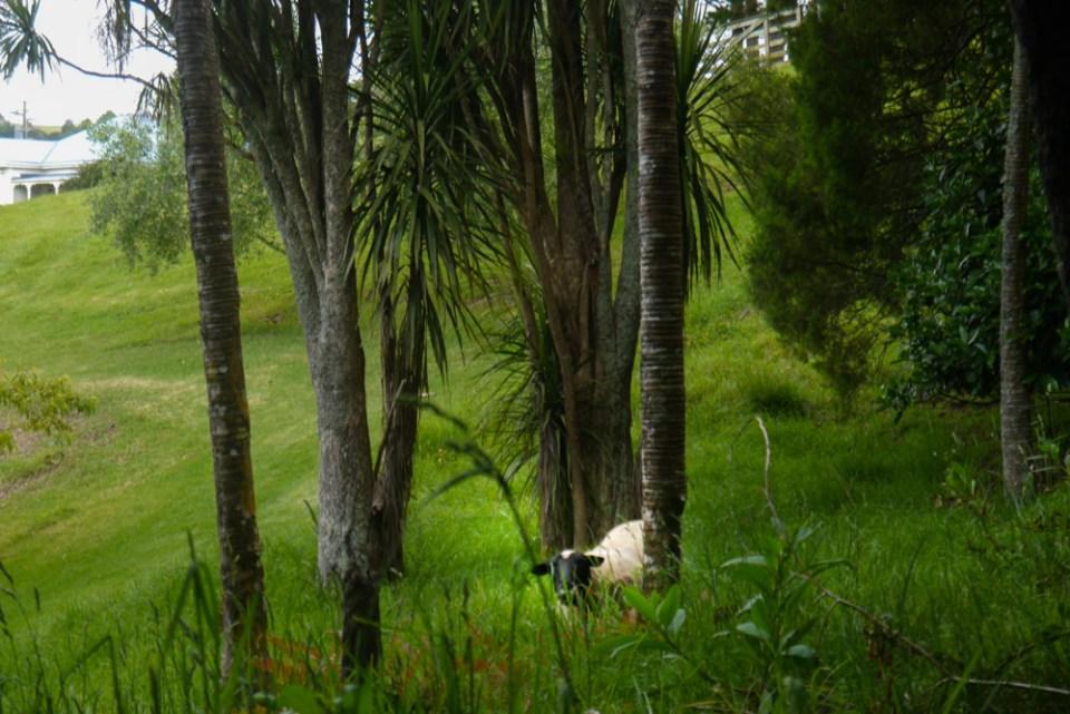 sheep-nikau-palms-1090823
