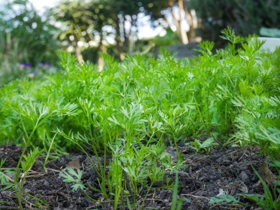 carrots-1100755