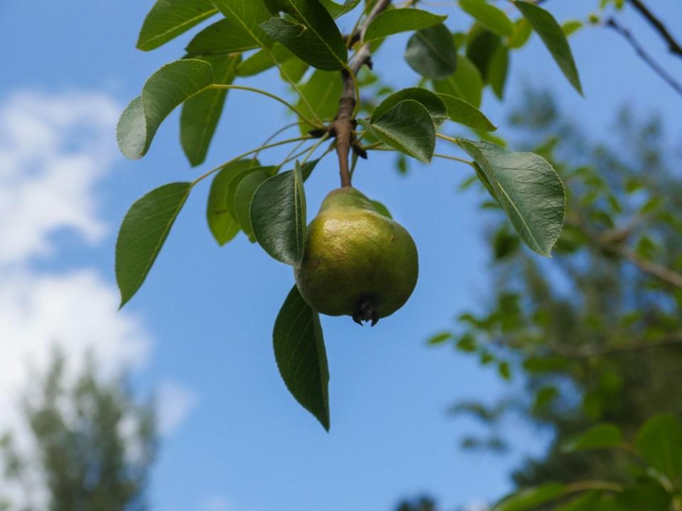 Doyenne-du-comice pear-1100606